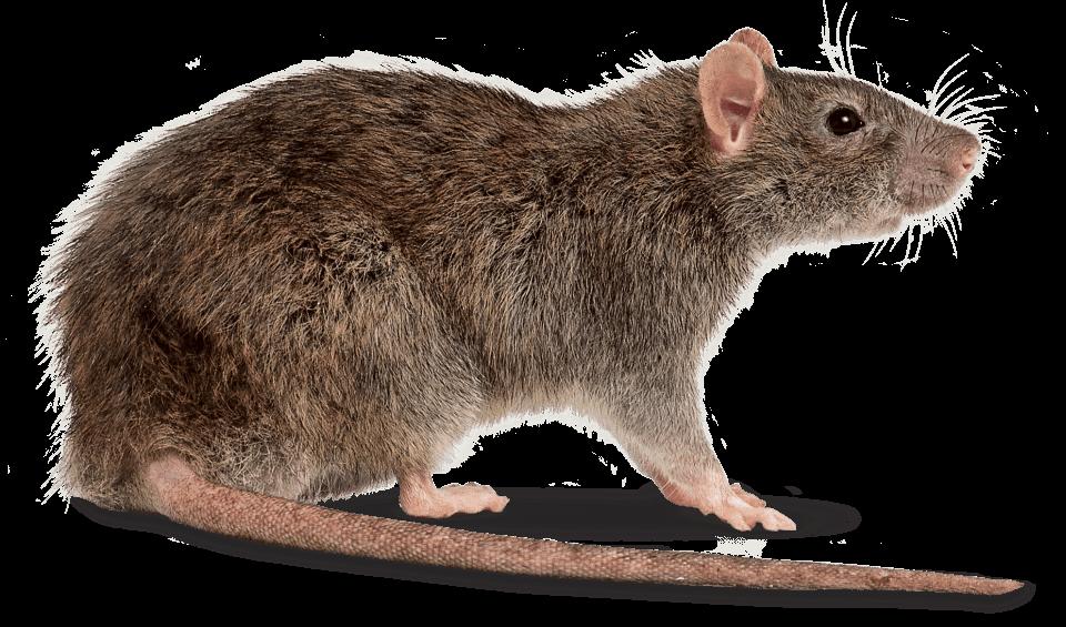 Entreprise de Dératisation des Rats & Souris Le Cannet