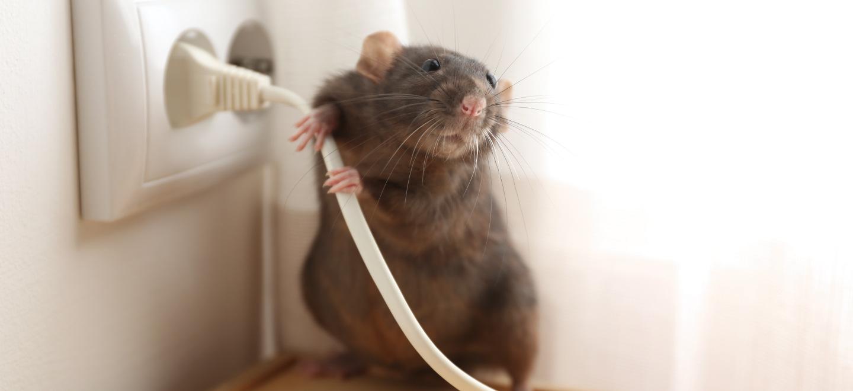 Entreprise de Dératisation des Rats & Souris Saint-Priest