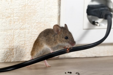vyechu5vcvsc Entreprise de Dératisation des Rats & Souris Le Cannet