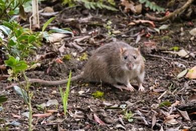 wacwgmkp7o5c Entreprise de Dératisation des Rats & Souris Le Cannet