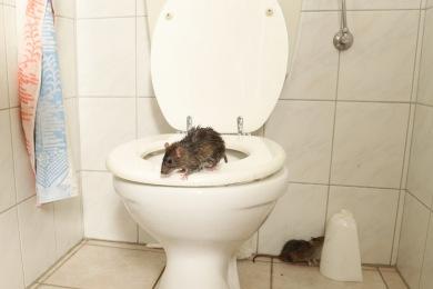 ygprkidrc71m Entreprise de Dératisation des Rats & Souris Le Cannet